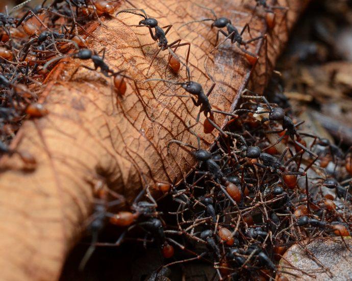 Army_ants - Geoff Gallice