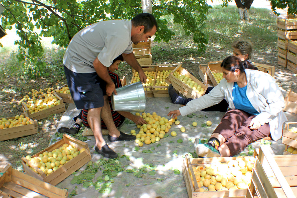 apricots-the-armenite-tatevik-vardanyan-12