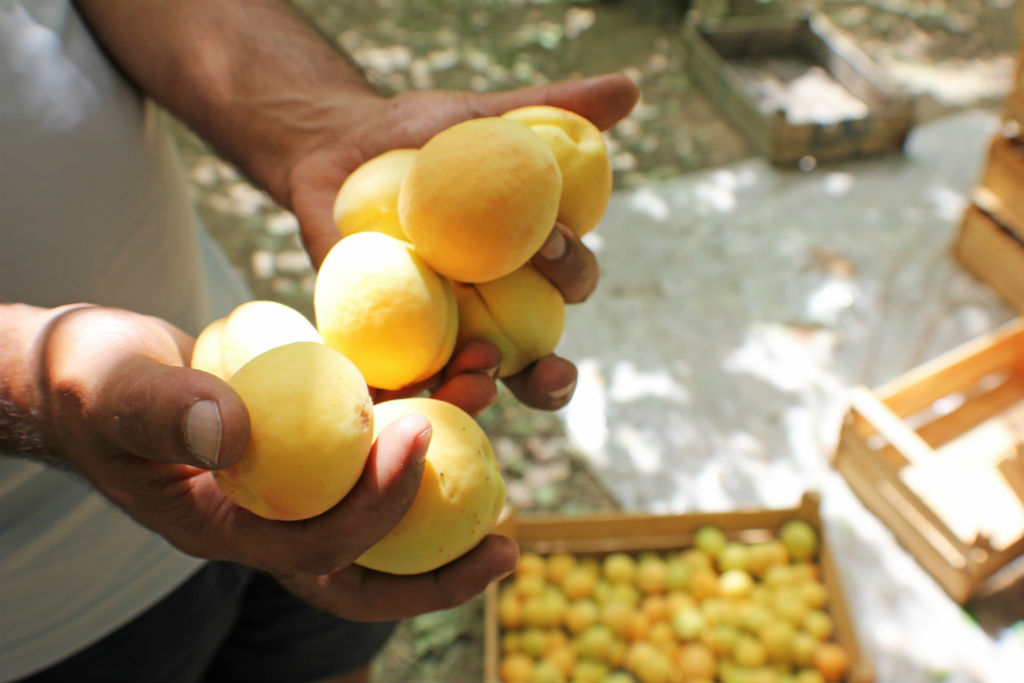 apricots-the-armenite-tatevik-vardanyan-8
